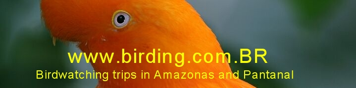 Birdwatching trips in Amazonas and Pantanal, Brazil